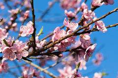 Spring close up of beautiful nectarine tree pink blooming flowers with petals Stock Image