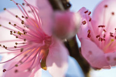 Spring close up of beautiful nectarine tree pink blooming flowers with petals in soft light Royalty Free Stock Images