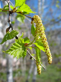 Spring. Close-up of birch catkins Stock Photos