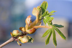Spring close up of first leaves. Spring close up of a fresh first leaves on blurred background Royalty Free Stock Photos