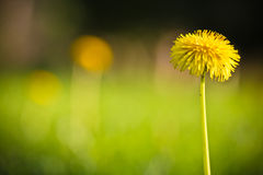 Spring close up of green grass meadow pasture with blooming yellow dandelions Royalty Free Stock Image