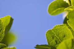 Spring close up of green leaves with venation in blue sky background. Spring close up of green leaves in blue sky background and sunlight Stock Photo