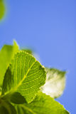 Spring close up of green leaves with venation in blue sky background. Spring close up of green leaves in blue sky background and sunlight Stock Photography