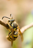 Spring. Closeup of Wasp Royalty Free Stock Photography