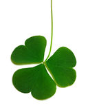 Spring clover leaf Stock Photography