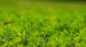 Spring clover leaves in green grass Royalty Free Stock Photo