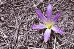 Spring Colchicum Stock Photo