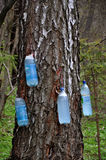 Spring collect birch sap_2 Stock Photo