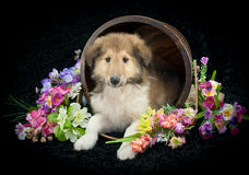Spring Collie Puppy Stock Images