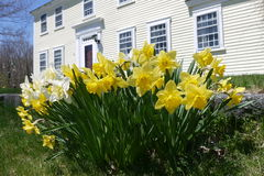 Spring: colonial house with yellow daffodils royalty free stock images