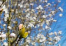 Spring color, flower bud. Stock Images