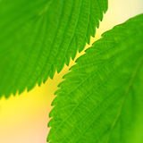 Spring color leaves detail Royalty Free Stock Photo