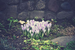 Spring colored crocuses Royalty Free Stock Image