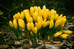 Spring colored crocuses Stock Images