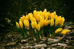 Spring colored crocuses Royalty Free Stock Photos