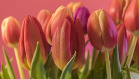 Spring colored tulips. Spring yellow red tulips on a pink background Stock Photography
