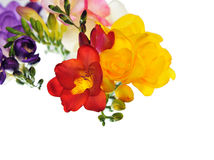 Spring colorful freesia flowers isolated Stock Photos