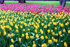 Spring colorful tulip Stock Photo
