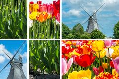 Spring - Tulips Collage With Windmill. Spring - Colorful Tulips Collage With Windmill And Blue Cloudy Sky Royalty Free Stock Photography