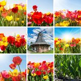 Spring - Tulips Collage With Windmill. Spring - Colorful Tulips Collage With Windmill, Sunbeams And Blue Cloudy Sky Stock Images