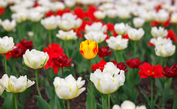 Spring colorful tulips. Royalty Free Stock Photo
