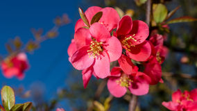Spring colors. Chaenomeles japonica known as Maule`s quince is a species of flowering quince. It is a thorny deciduous shrub that is commonly cultivated. It is stock photography