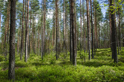 Spring colors in a coniferous forest Stock Photography