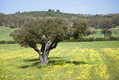 Spring colors in Sardinia. Sardinian countryside in the spring. A oak tree stands alone in the fields Royalty Free Stock Photo