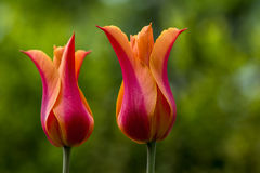 Spring Colors. Tulips flower in the spring garden. Photography of nature Royalty Free Stock Image