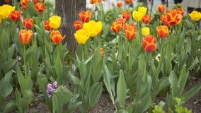 Spring Colors - Tulips. Tulips in park, spring seasonal flowers stock photo
