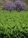 Spring colours. Two colourful trees in a vineyard royalty free stock images