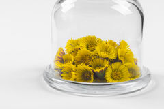 Spring coltsfoot or tussilago flowers in glass mini dome Royalty Free Stock Image