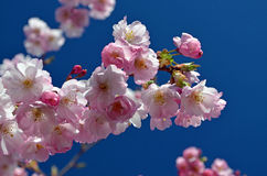 Spring come back! Cherry tree blossom. Stock Images