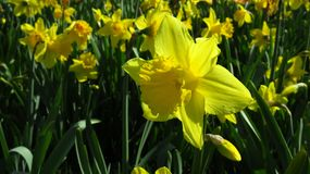 Yellow Narcissus Blooming During Spring royalty free stock images