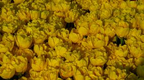 Yellow Tulips in a Flowering Tulip Field stock images