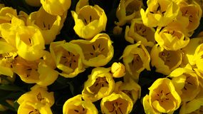 Yellow Tulips in a Tulip Field royalty free stock photo