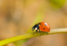 Spring comes. Closeup of ladybird Royalty Free Stock Photos