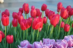 Istanbul, April and May fill the red Tulip. Stock Images