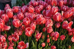 Istanbul, April and May fill the red Tulips. When spring comes, Istanbul will fill every side with Red Tulip. In the squares, in the parks, there is a colorful royalty free stock photo