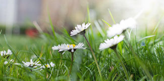 Spring comes - lovely little dandelions. Picture of lovely little dandelions at a meadow royalty free stock photography