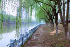 Lakeside willow tree platoon. The spring comes, the trees are new, the willows are drawn, the willow trees on the river are green stock photo