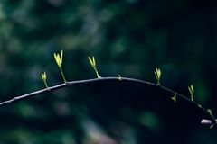 Ficus virens Ait. var. sublanceolata Miq. Corner. Spring comes, the trees sprout Stock Photo