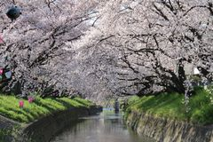 Full bloom Sakura at Gojo River in Japan Stock Photo