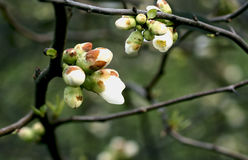 Spring is coming. First buds on a twig, close up stock photos