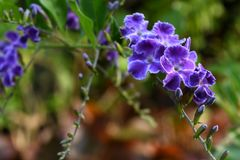 Duranta violet flowers in the garden. The spring coming all flowers growth up and nice color Stock Photography