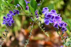 Duranta violet flowers in the garden. The spring coming all flowers and tree  growth up and nice color Stock Photo