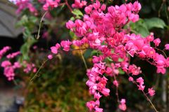 Pink coral wine in the garden. The spring coming all flowers and tree  growth up and nice color Royalty Free Stock Photography