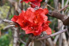 Red Bougainvillea flowers in the garden. The spring coming all flowers and tree  growth up and nice color Stock Photography