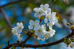 Spring is coming. Beautiful white flowers on a tree Royalty Free Stock Photo