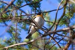 Spring is coming. Brambling sings on pine branch. Bird glorifies spring. brambling (Fringilla montifringilla, male) sings on branch of pine. Territorial and Stock Images